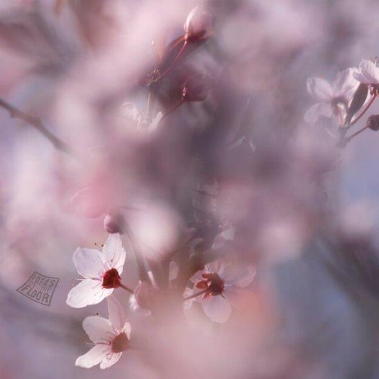 kersenbloesem-bloesem-roze