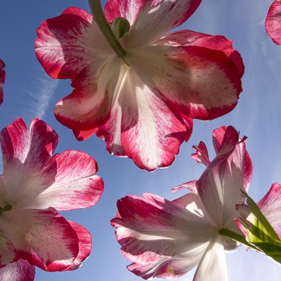 Foto met parkiettulp bestelnummer 459817 die heeft meegedaan voor de Tulpenwedstrijd