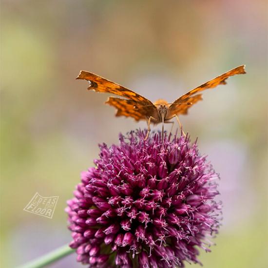 377421-distelvlinder-vlinder-op-trommelstokje