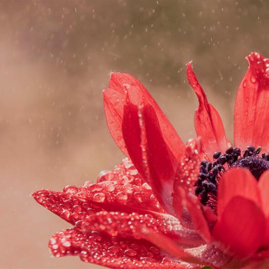 775918 Rode anemoon met waterdrupels