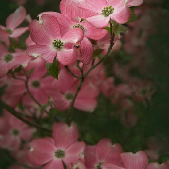 830718 Roze bloemen