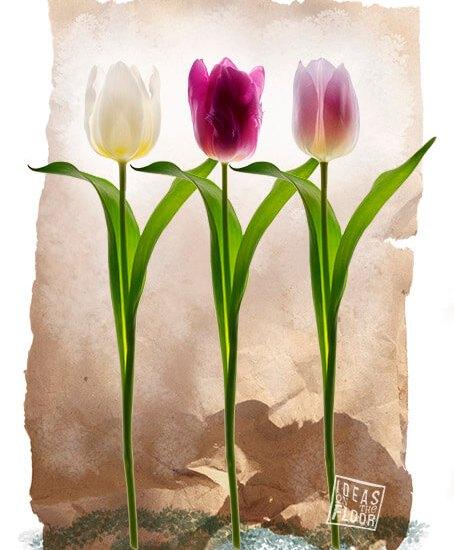 Tulip Fever Wit