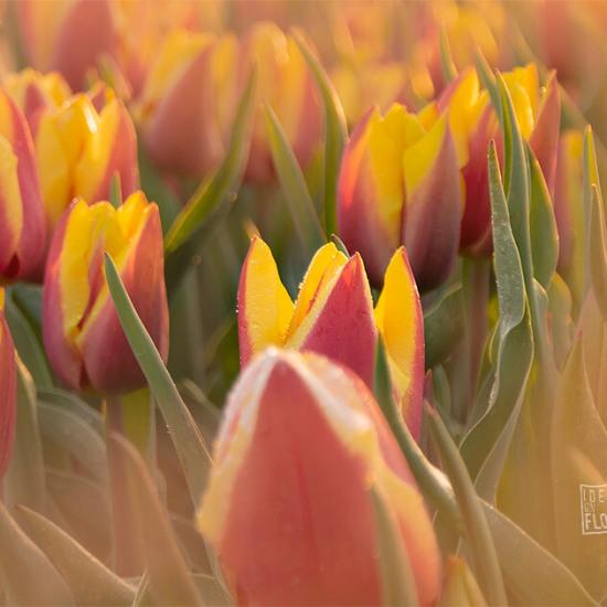 107021-tulpenveld-zevenaar-close-up-zonsondergang-gele-kleuren