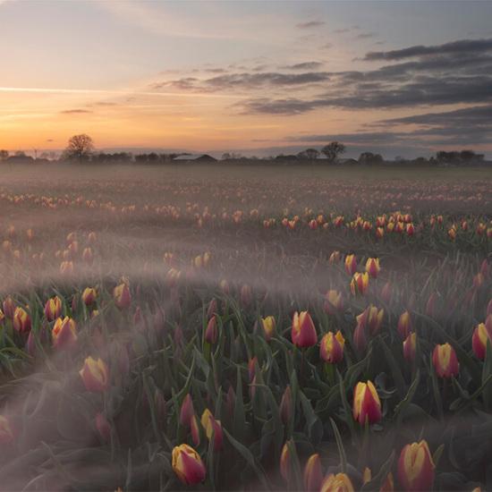 foto-bollenveld-tulpenveld-zevenaar-ondergaande-zon-113721