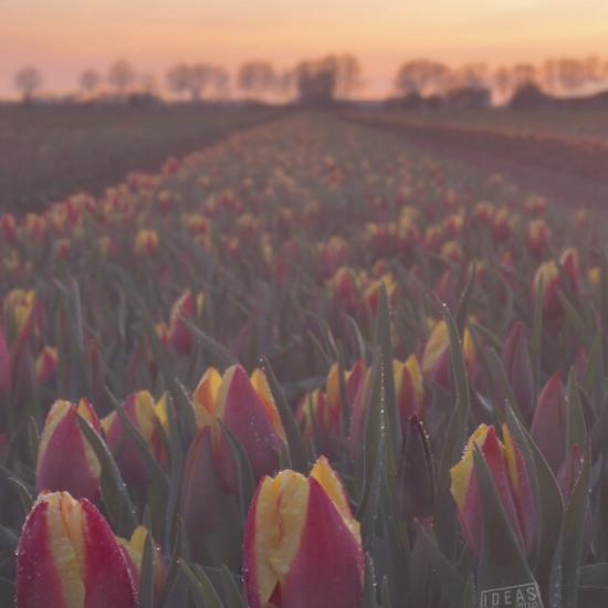 115121-Tulpenveld-Zevenaar-zonsondergang-zachte-kleuren
