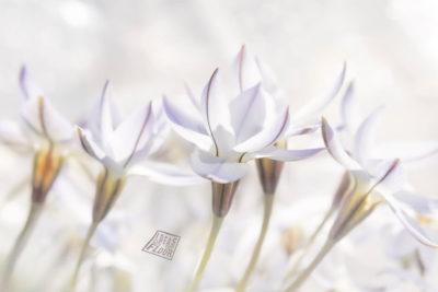 bloemen wit voorjaarsbloemen wanddecoratie